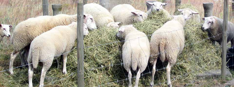 Sheep can be fed on hay from Harrogate Hay