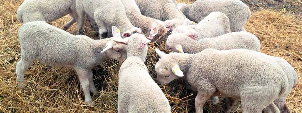 Lambs can be fed on quality hay from Harrogate Hay